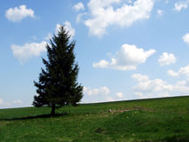 Picea negra Foto de archivo