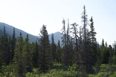 Picea negra Imagen de archivo