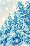 Picea nevada Fotos de archivo