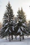 Picea nevada en un día de invierno soleado el parque Imagenes de archivo