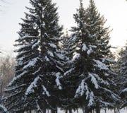 Picea nevada en un día de invierno soleado el parque Imágenes de archivo libres de regalías