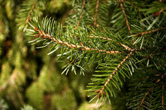 Picea omorika Stock Images