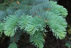 Picea Pungens - abeto vermelho azul imagens de stock royalty free