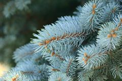Picea Pungens - Blue Spruce Royalty Free Stock Image