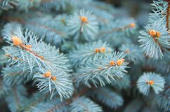 Picea pungens. Blue Spruce,. Picea pungens branch on the background of blurred other branches. Blue Spruce royalty free stock photos