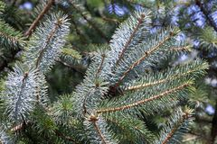 Picea pungens close up. Blue spruce detail. Picea pungens stock images