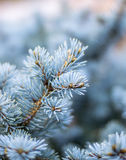 Picea1 Royalty Free Stock Photos