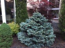 Picea pungens glaucaglobosa Royalty-vrije Stock Foto's