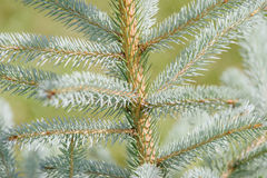 Picea pungens Stock Image