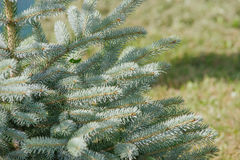 Picea pungens Stock Photos