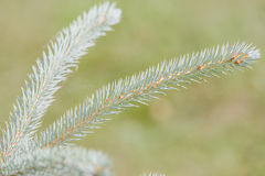 Picea pungens Royalty Free Stock Photos