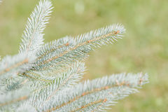 Picea pungens Stock Photo