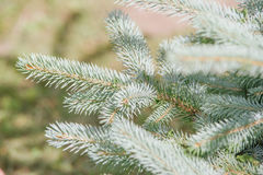 Picea pungens Royalty Free Stock Image