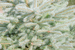 Picea pungens Stock Photography
