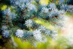 Picea pungent closeup in spring Stock Images