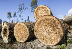 Picea putrefacta de clearcutting Fotografía de archivo