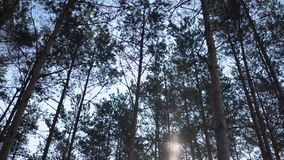 Picea sin tocar verde de Forest Pine Trees Fairy Forest Modelo del bosque metrajes