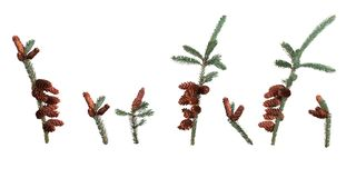 Picea, spruce. On a white background stock images
