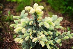 Picea spruce pungens Bialobok, very showy rare conifer. With white sprouts in spring Stock Photos