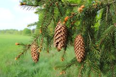 Picea tree. Spruce with cones on branch Royalty Free Stock Images