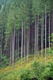 Picea verde, bosque del abeto Foto de archivo libre de regalías