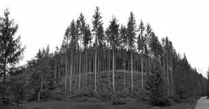 Picea verde, bosque del abeto Imagen de archivo libre de regalías