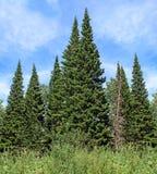 Picea verde contra el cielo Imagen de archivo