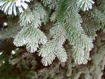 Picea verde de la helada, aguja estupenda del espacio del hoar Ramas de árbol verdes que nievan Imágenes de archivo libres de regalías