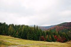 Picea verde y bosque rojo del otoño del bosque del otoño, muchos árboles adentro Foto de archivo libre de regalías
