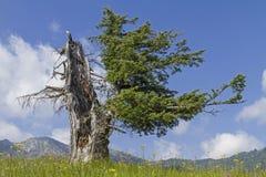 Picea vieja Fotografía de archivo