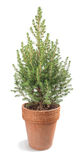 Picea Royalty Free Stock Image