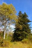 Picea y abedul. Foto de archivo