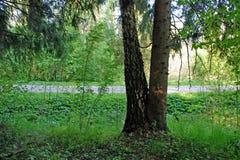 Picea y abedul fundidos a la tierra Fotografía de archivo libre de regalías