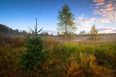 Picea y abedules del otoño en el paisaje del campo el mañana con el bosque en el fondo Fotos de archivo libres de regalías