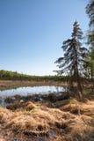 Picea y humedales Foto de archivo libre de regalías