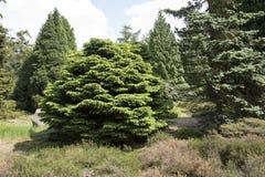 Piceaen abies ` för den `-Pumila nigraen, Fotografering för Bildbyråer