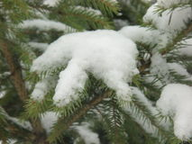 Piceaen för vintersnösäsongen abies gran-trädet trä Arkivbilder