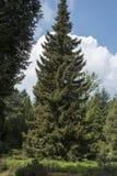 Piceaomorika Arkivfoto