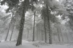 Piceas congeladas imagen de archivo