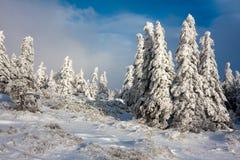 Piceas de la montaña Nevado Imagen de archivo libre de regalías
