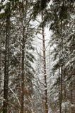 Piceas en bosque del invierno en la estación de esquí de Jasna Foto de archivo libre de regalías