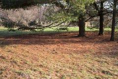Piceas en el bosque fotos de archivo