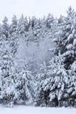 Piceas nevadas blancas majestuosas Escena pintoresca y magnífica del invierno Fotografía de archivo libre de regalías