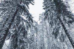 Piceas Nevado Bosque europeo en invierno foto de archivo