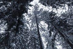 Piceas nevosas oscuras Bosque europeo foto de archivo
