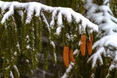 piceas Ramas, conos, agujas nieve zoom Fotografía de archivo libre de regalías