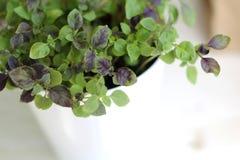 Épices Basil dans des pots blancs Photographie stock
