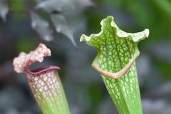picher roślina obrazy royalty free