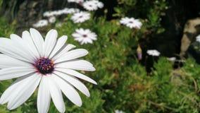 Pichidangui& x27; s kwiaty Zdjęcia Stock