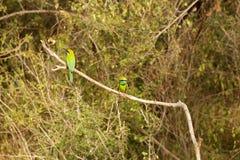 pichugi coloreado de 2 pájaros en una rama Foto de archivo